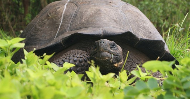 New species of tortoise in Galapagos claimed