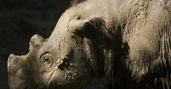 Critically endangered Asian rhino leaving Ohio zoo to mate