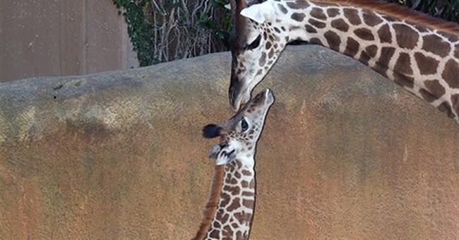 Big baby: Los Angeles Zoo's new giraffe is just under 6 feet