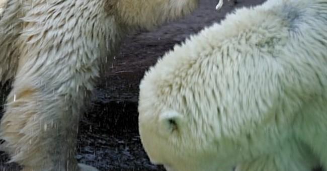 Klondike, called oldest polar bear in US, dies at age 34