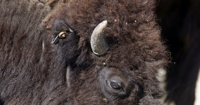 Riders round up one of nation's biggest public bison herds