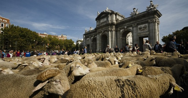 Spanish shepherds guide 2,000 sheep through Madrid's streets