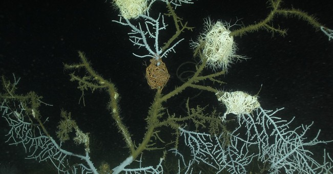 Study shows more extensive coral damage related to BP spill