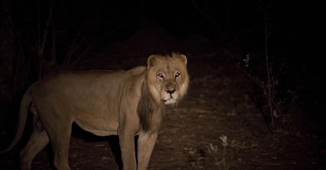 Lions, pride of Africa, vanishing in West Africa