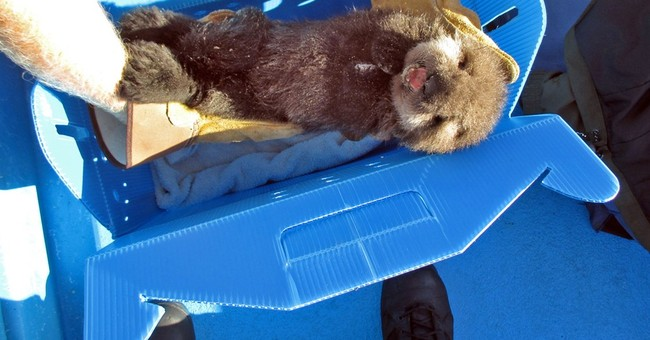 Hungry baby otter found on California beach is recovering