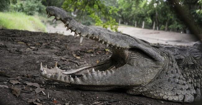 Thousands of crocodiles go hungry at Honduras farm