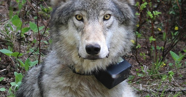 Oregon faces cultural divide over protections for wolves