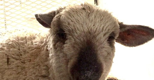 Lamb on the lam for hours after Nevada crash to be adopted