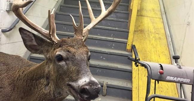 Deer makes surprise visit to Michigan collision repair shop