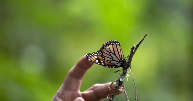 Mexico hopes to see 3-4 times more monarch butterflies