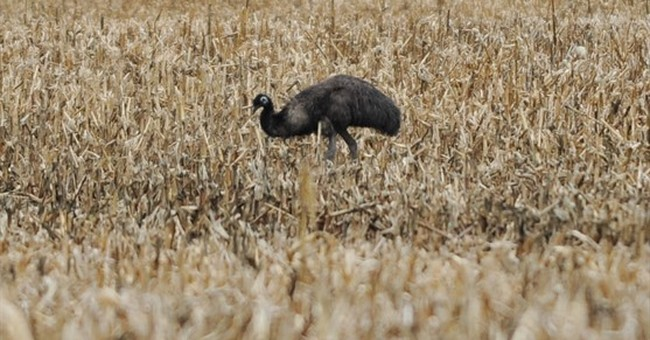 Rogue emu captured after 60 days on the lam in Delaware