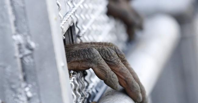 14 orangutans smuggled into Thailand sent home to Indonesia