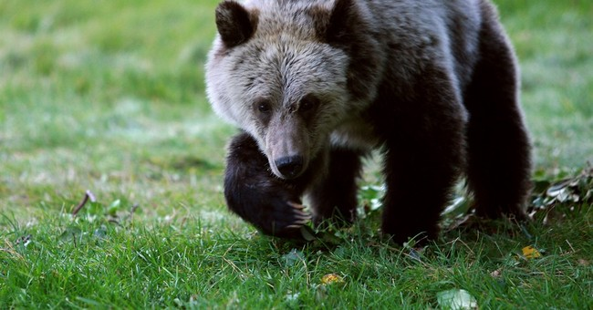 Tribes want protections to remain for sacred grizzly bears