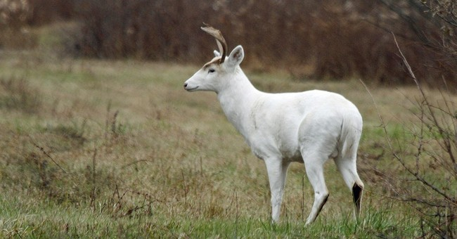 Future uncertain for rare white deer at former weapons site