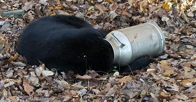 Wildlife workers free hungry bear's head from milk can