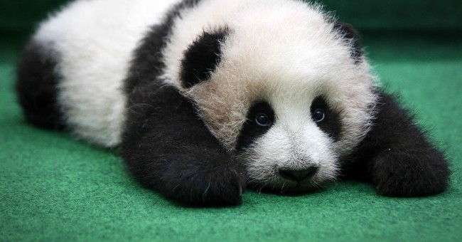 Image of Asia: Malaysia's giant panda cub gets some rest