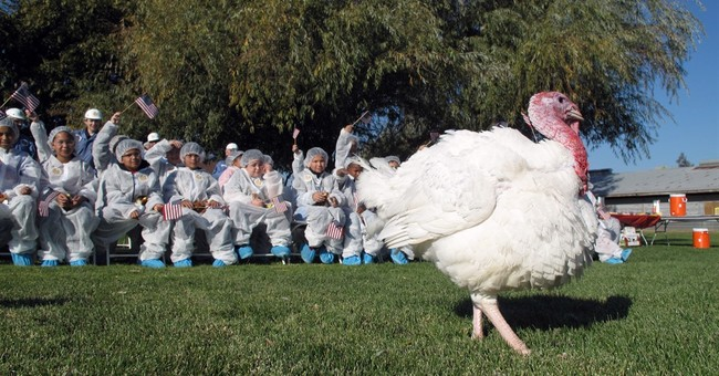 Turkey struts his stuff to get spared the Thanksgiving plate