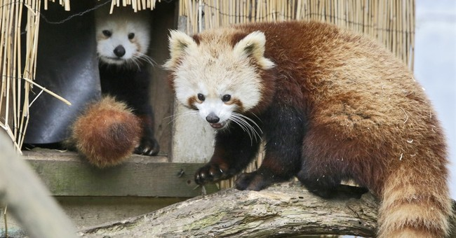 Red panda goes missing from Northern California zoo