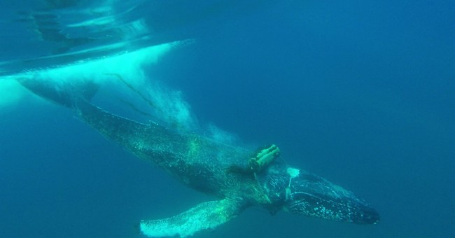 California whale-watchers on lookout for entangled humpback