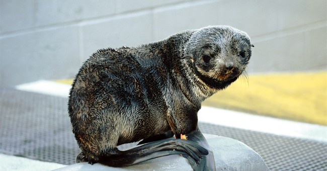 Record number of stranded seal pups in Northern California