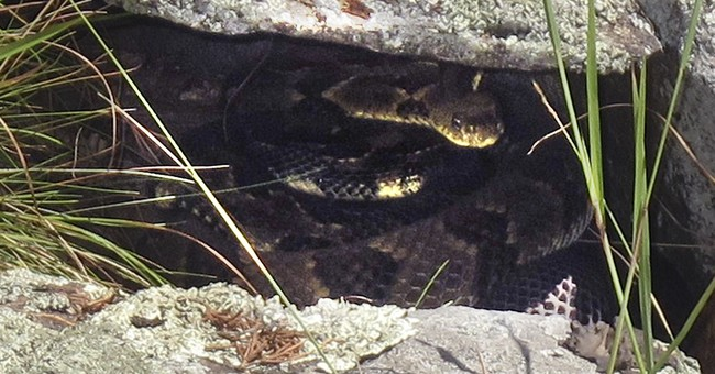 Scientists: Fungus causes snake ailment, but reason elusive