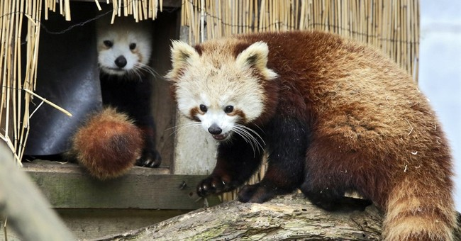 Missing red panda found safe after escaping California zoo