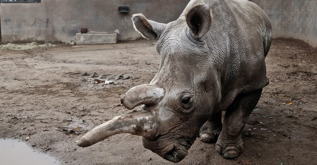 Endangered white rhino dies at San Diego-area zoo
