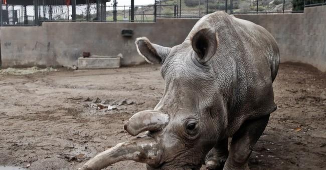 Endangered white rhino dies at San Diego-area zoo