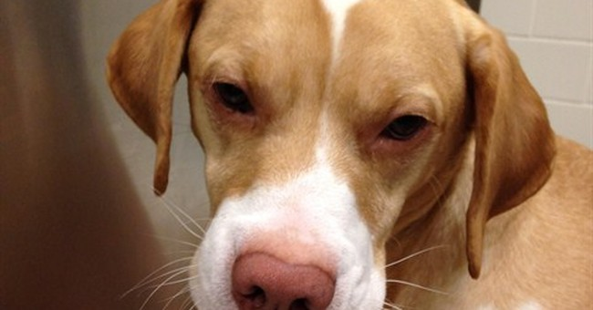 Dog undergoes surgery after eating parts of calf-high boots