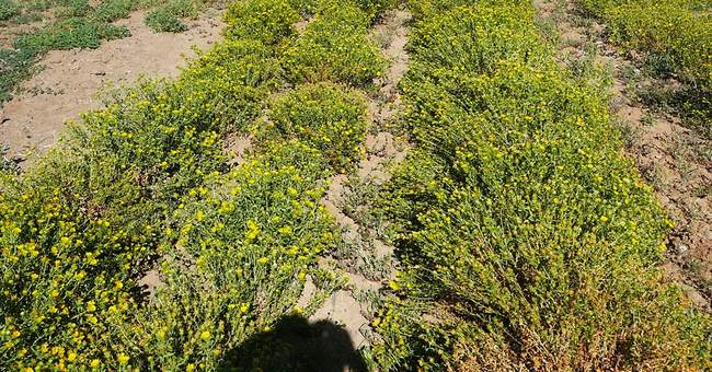 Nevada researchers trying to turn roadside weed into biofuel