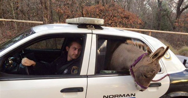 Oklahoma officer drives miniature donkey to safety