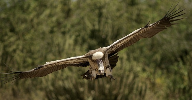 Give vultures a little love, conservationists say