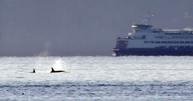 Study: Boaters can help orcas by slowing down