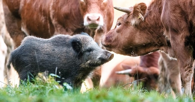 Wild boar in Germany adopted by herd of cattle