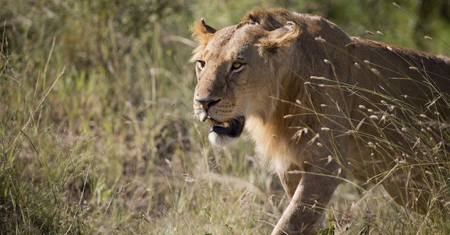 Poisoned lion in Kenya euthanized after condition worsened