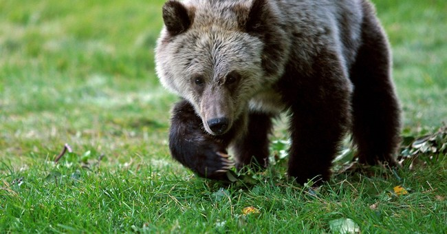 APNewsBreak: Feds look to maintain Yellowstone bear numbers