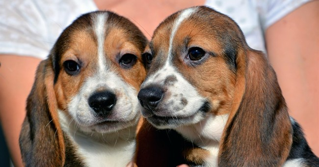 7 half-pound mutts become first test-tube puppies in world