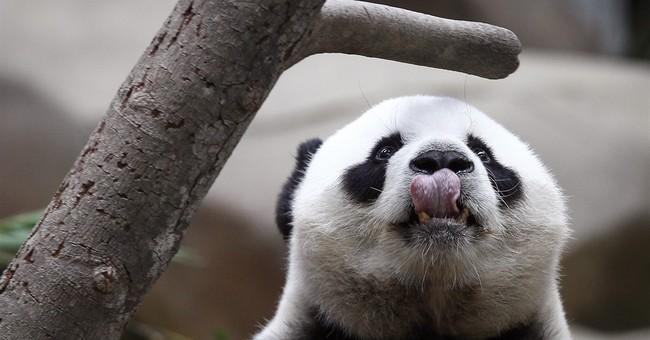 Image of Asia: Chinese panda in Malaysia