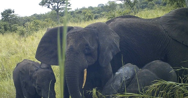 Rare elephant species found in war-torn South Sudan
