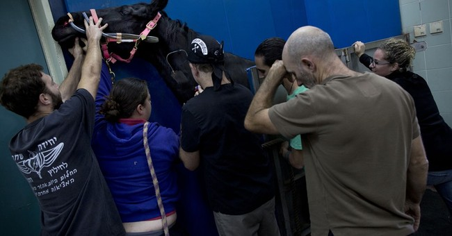 AP PHOTOS: Horses make wild patients at Israeli hospital