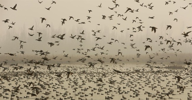 Wetland loss, development put Kashmir bird migration at risk