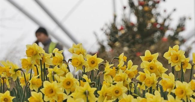 Daffodils in bloom in December: Strangely warm weather in UK