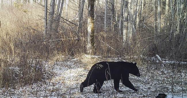 For bears and hares, the mild weather is a mixed bag