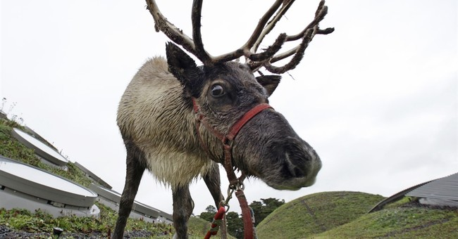 Rudolph's shiny red nose may be tied to eyes that glow blue