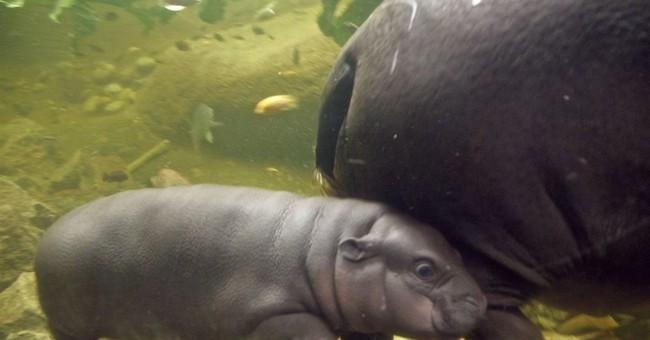 Pygmy hippopotamus calf now on display at Omaha zoo
