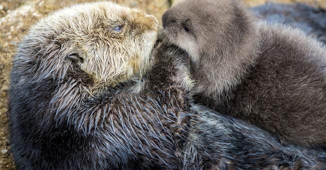 California aquarium welcomes birth of baby sea otter