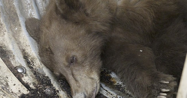 Black bear rides for 65 miles on California trash truck