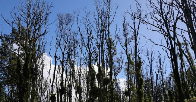 Fungus killing tree critical to Hawaii's native forests
