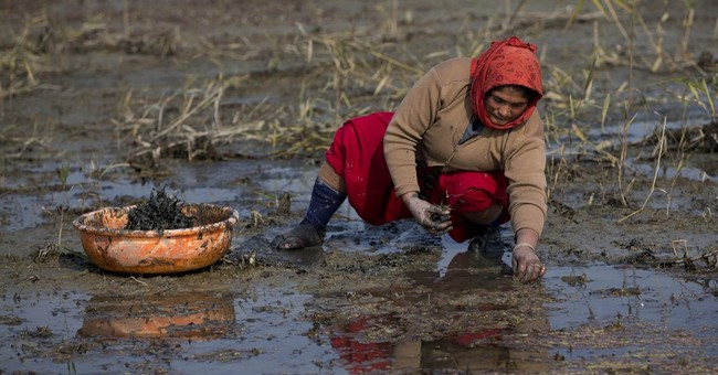 AP PHOTOS: Water chestnuts a blessing in cold Kashmir winter
