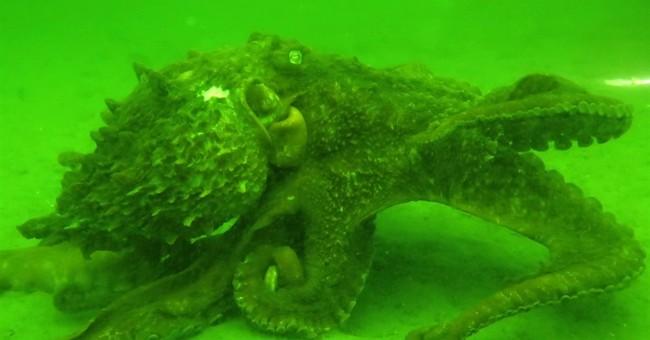1, 2, 3 octopuses: Divers conduct underwater census